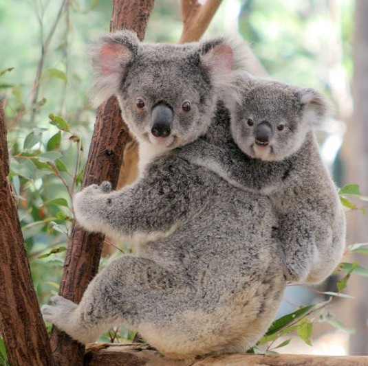 Lone Pine Koala Sanctuary - Accommodation Cairns