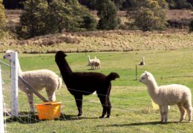 Maydena Country Cabins Accommodation  Alpaca Stud - Accommodation Cairns