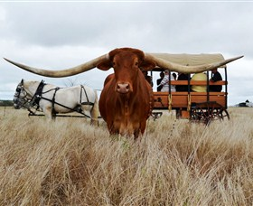 Texas Longhorn Wagon Tours and Safaris - Accommodation Cairns