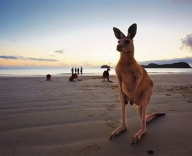 Wallabies on the Beach at Cape Hillsborough - Accommodation Cairns