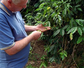 Wombah Coffee Plantation - Accommodation Cairns