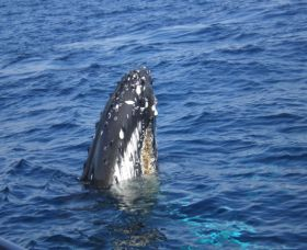 Jervis Bay Whales - Accommodation Cairns