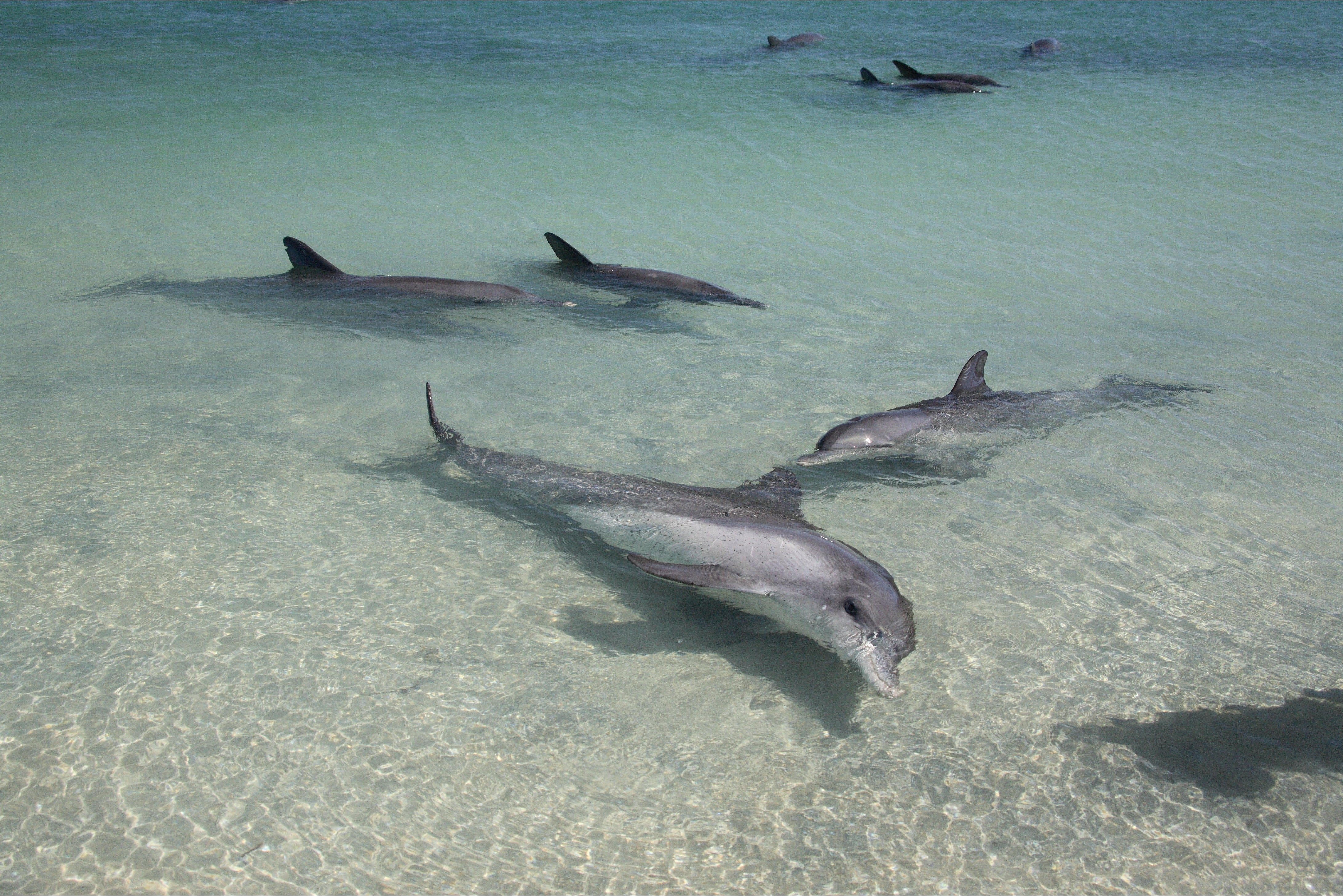Dolphins of Monkey Mia - Accommodation Cairns