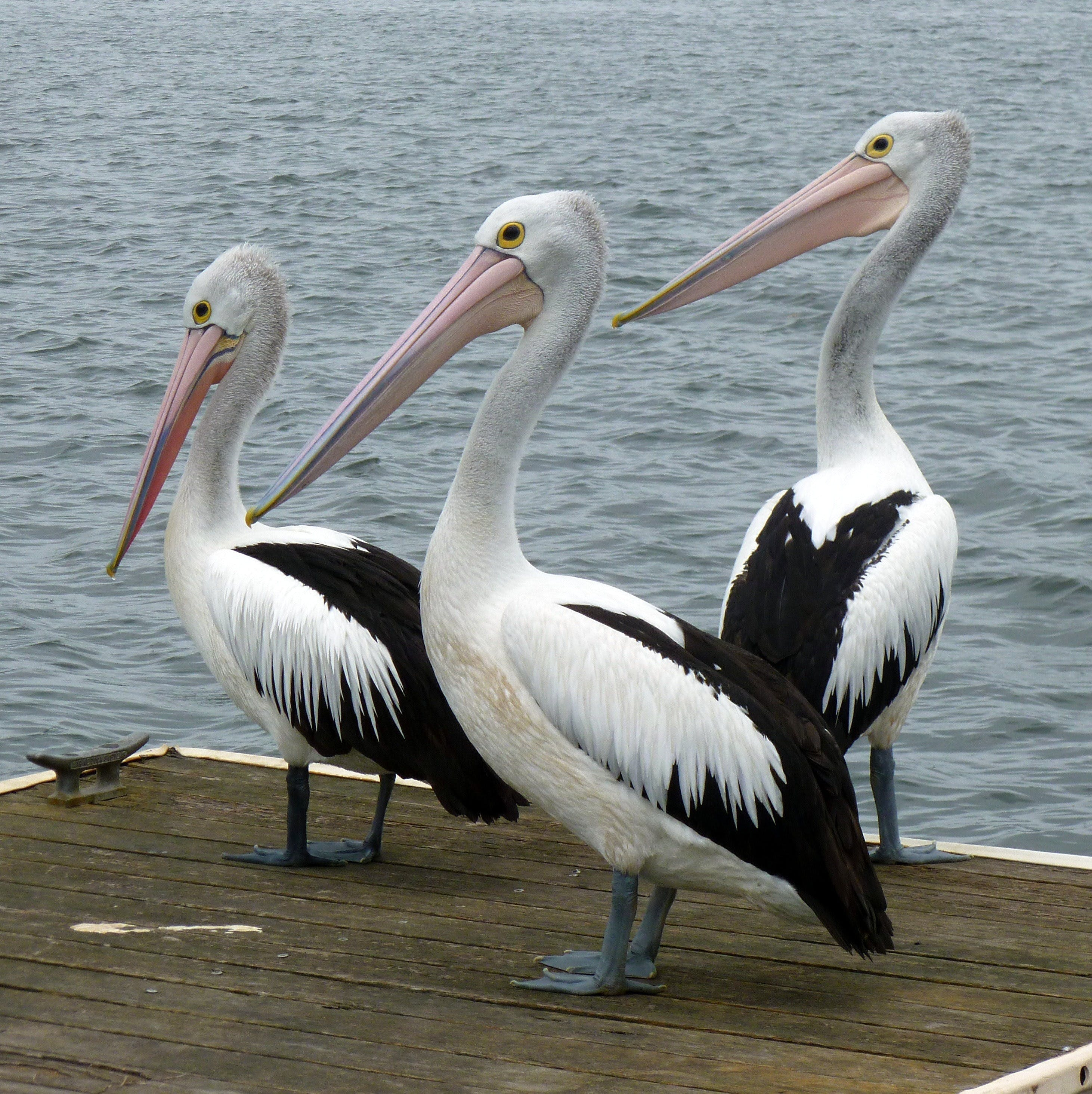 Pelican Feeding - Accommodation Cairns