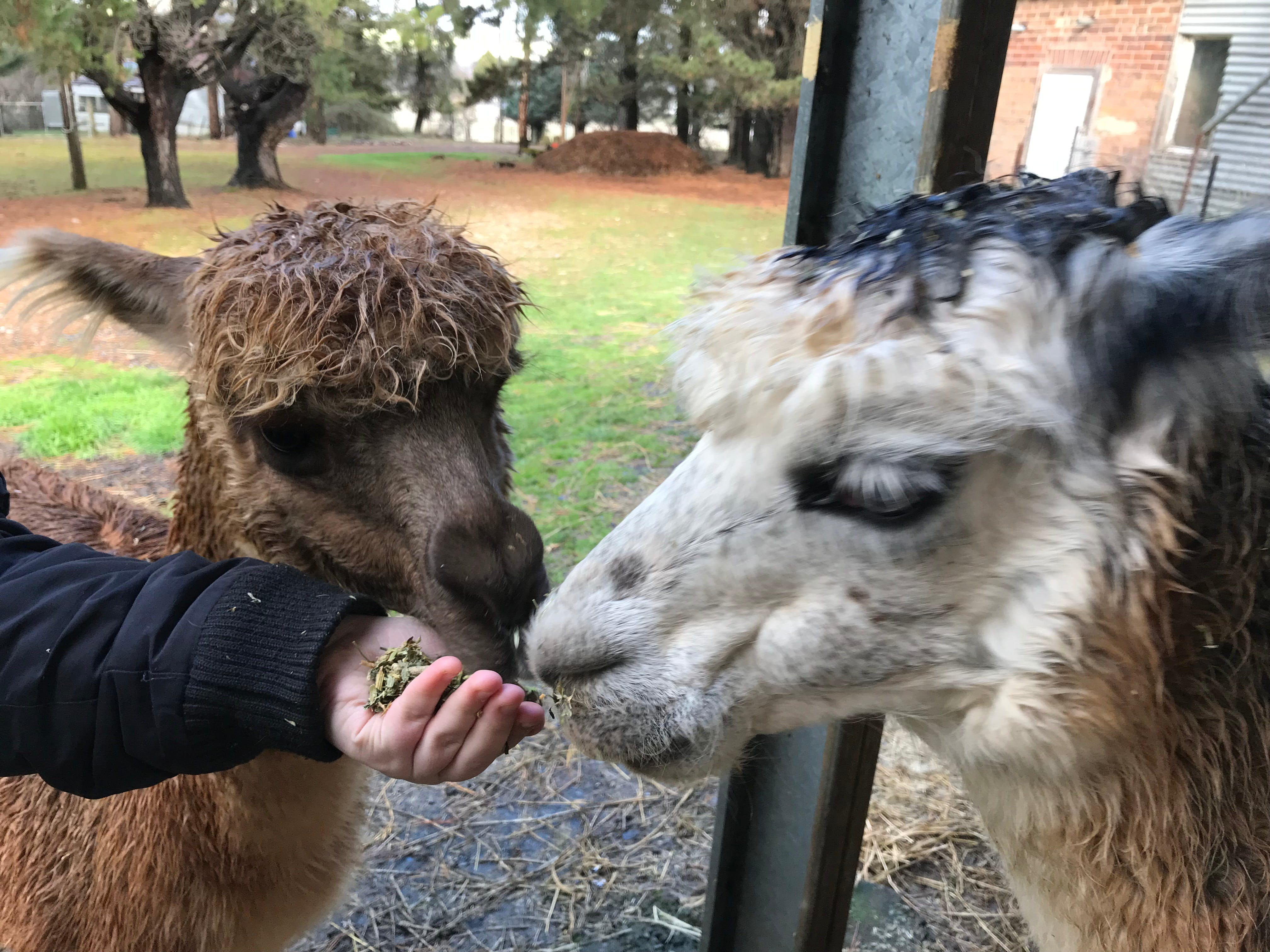 Alpaca Farm Experience at Crookwell - Accommodation Cairns