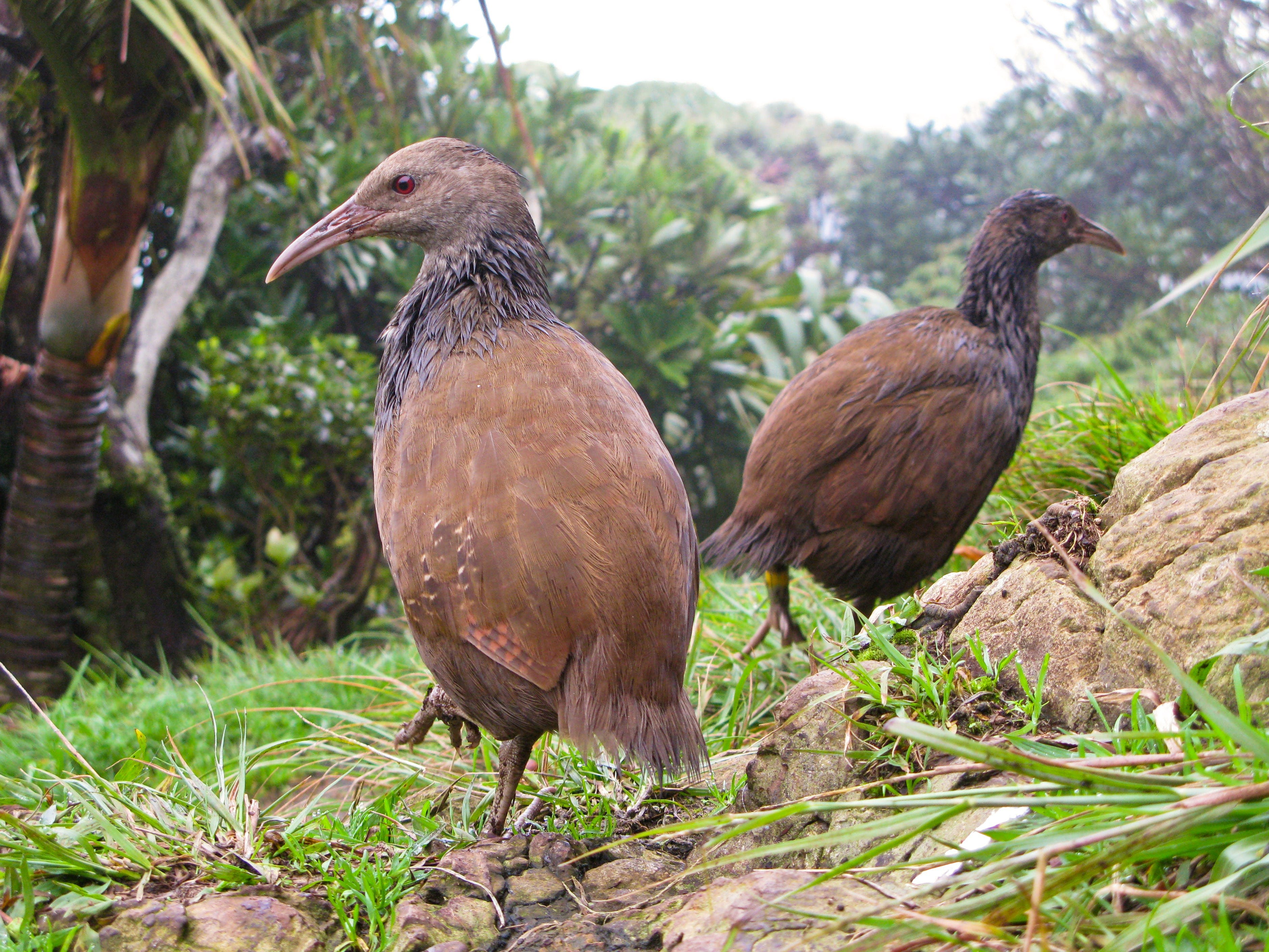 Lord Howe Island Bird Week - Accommodation Cairns